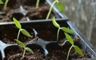 Что делать если рассада перца вытянулась и тонкая: как ее спасти и сильно ли повлияет это на урожай