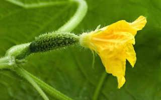 Почему не растут огурцы в теплице или растут плохо