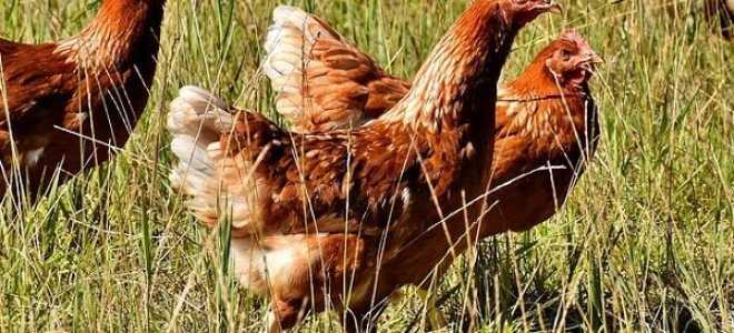 Болезни кур и их лечение, симптомы заболевания у кур