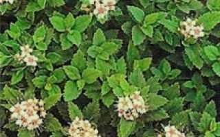 Спирея японская Грин Карпет (Spiraea japonica Green Carpet)