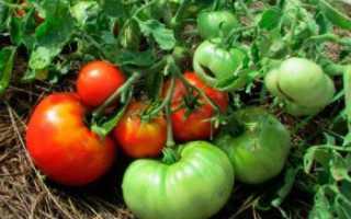 Сорт помидор Монгольский карлик описание, фото, отзывы