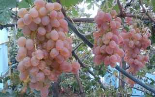 Виноград Тайфи: описание, где растет белый и розовый сорт