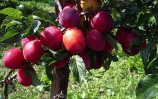 Слива Кабардинская ранняя: рекомендации по выращиванию